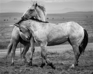 """Young Stallions At Play Digital on Fine Art Paper 24.75"""" x 28"""""""